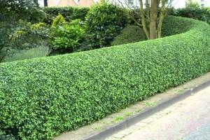Најдобра жива ограда за дворот